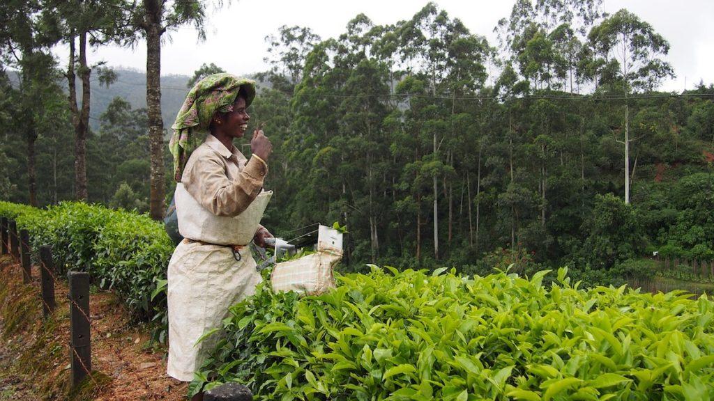 piantagioni di tè verde raccolta