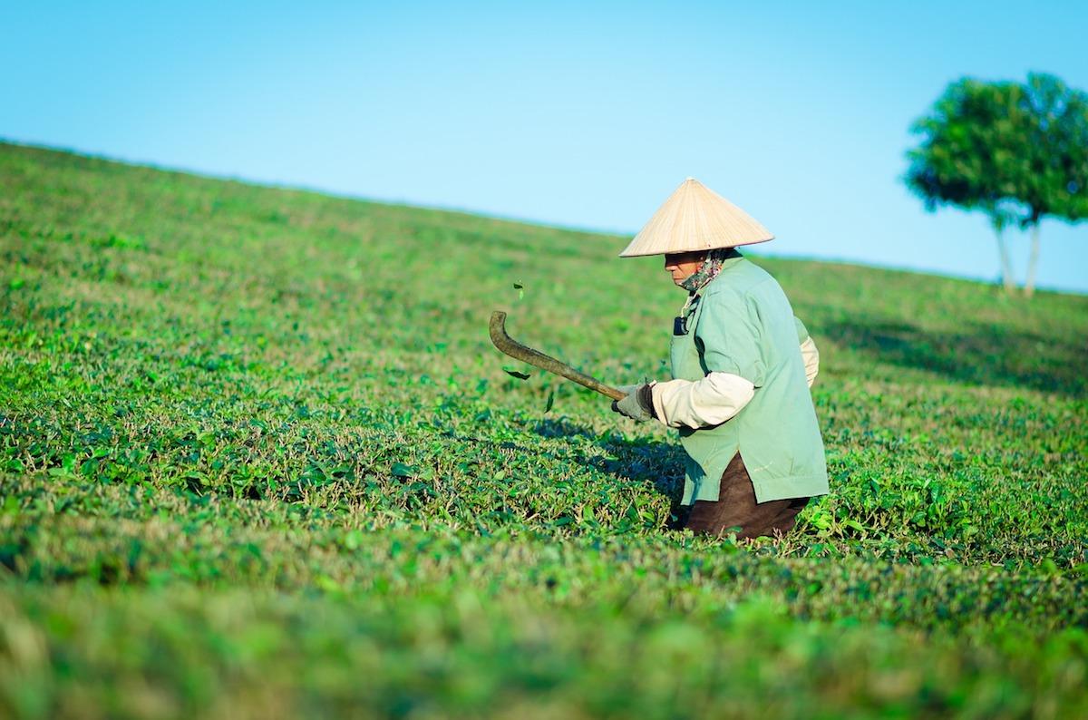 i tè verdi raccolta piante