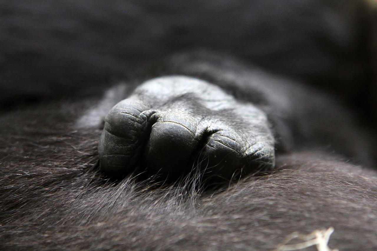 antispecismo mani gorilla