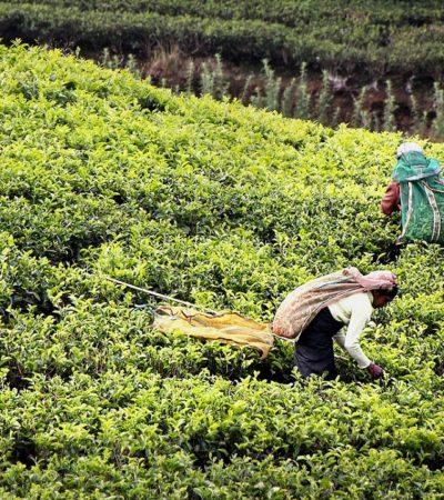 Il tè verde, super alleato naturale per prevenire e curare molte malattie