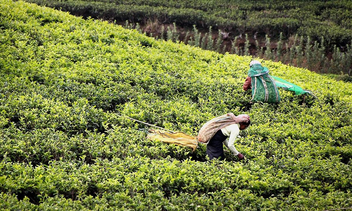 raccolta tè verde