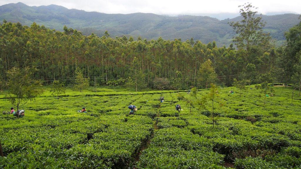 raccolta del tè verde kerala