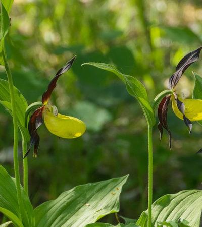 Ibridi di Orchidee spontanee dell'alta Murgia