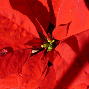 Come coltivare e far crescere una stella di Natale