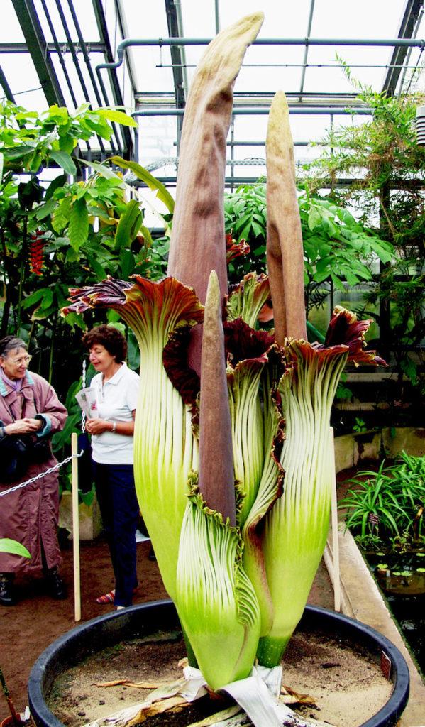 pianta per Shirataki di Konjac