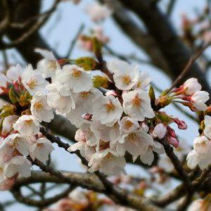L'Hanami e la fioritura dei ciliegi giapponesi