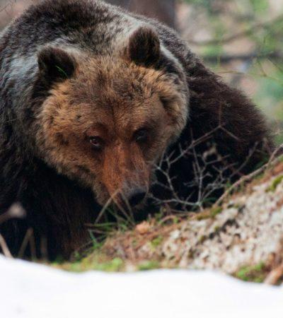 Orso bruno marsicano, popolazione, conservazione e tutela