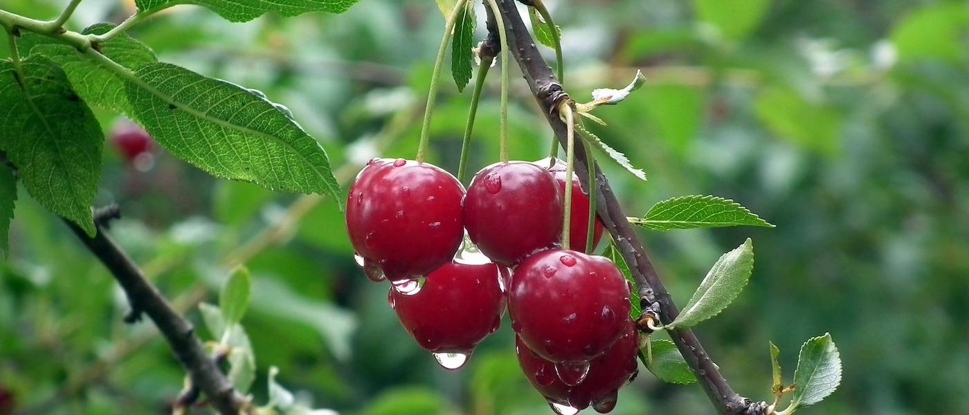 ciliegie mangiare frutta