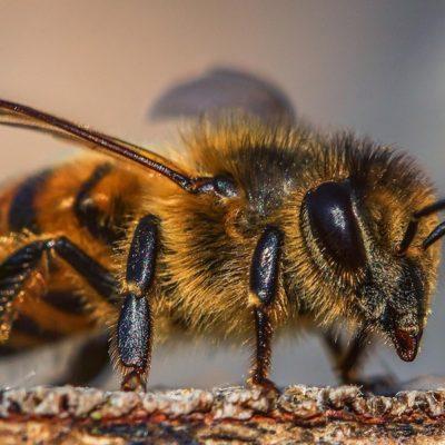 Alveari e ferormoni: tutte le attività dell'ape regina