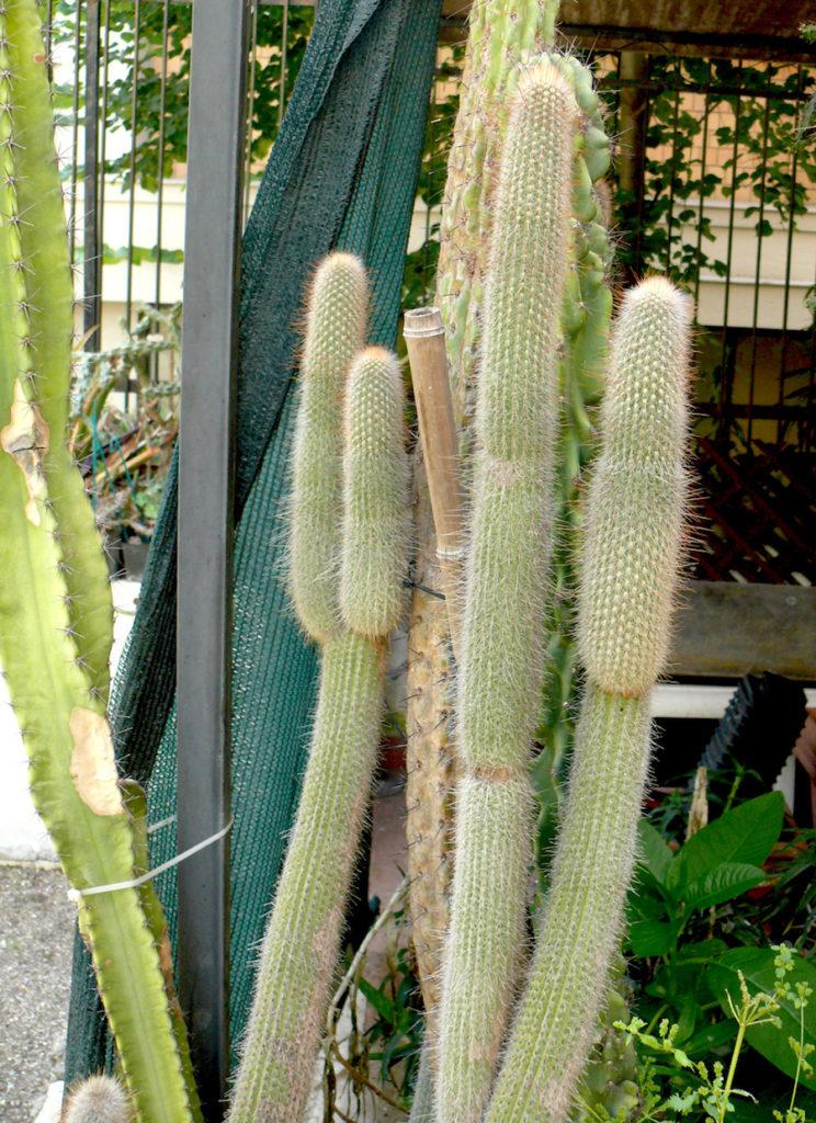 piante grasse cereiformi