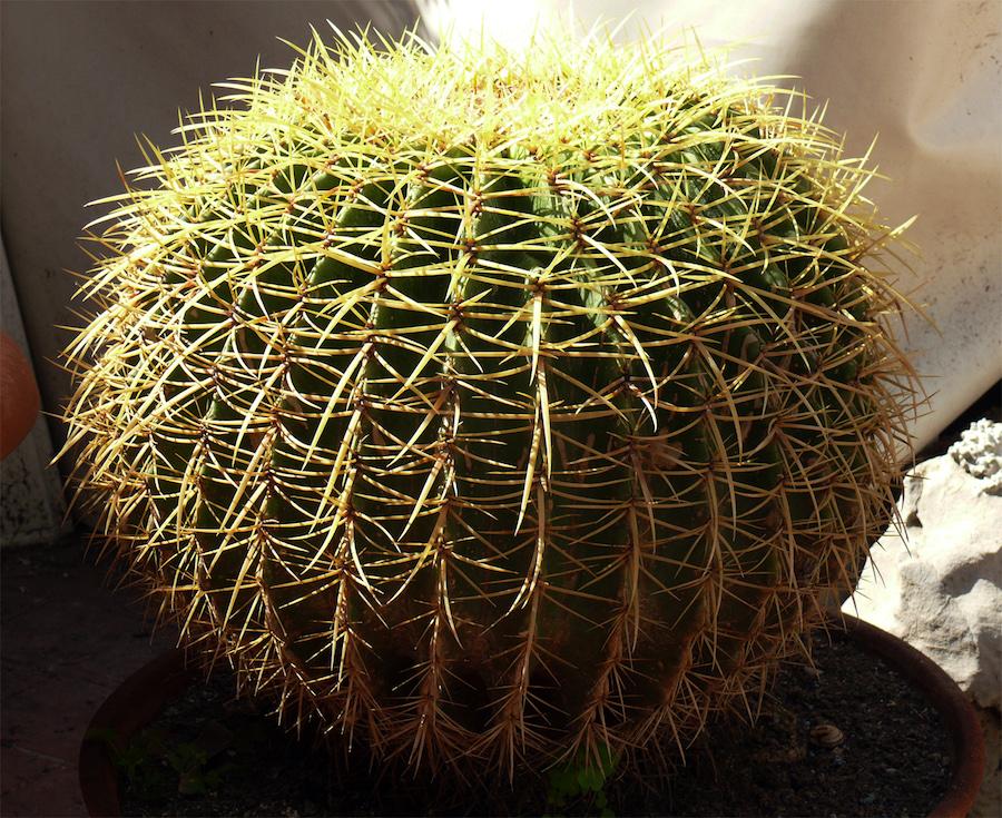 pianta grassa spinosa