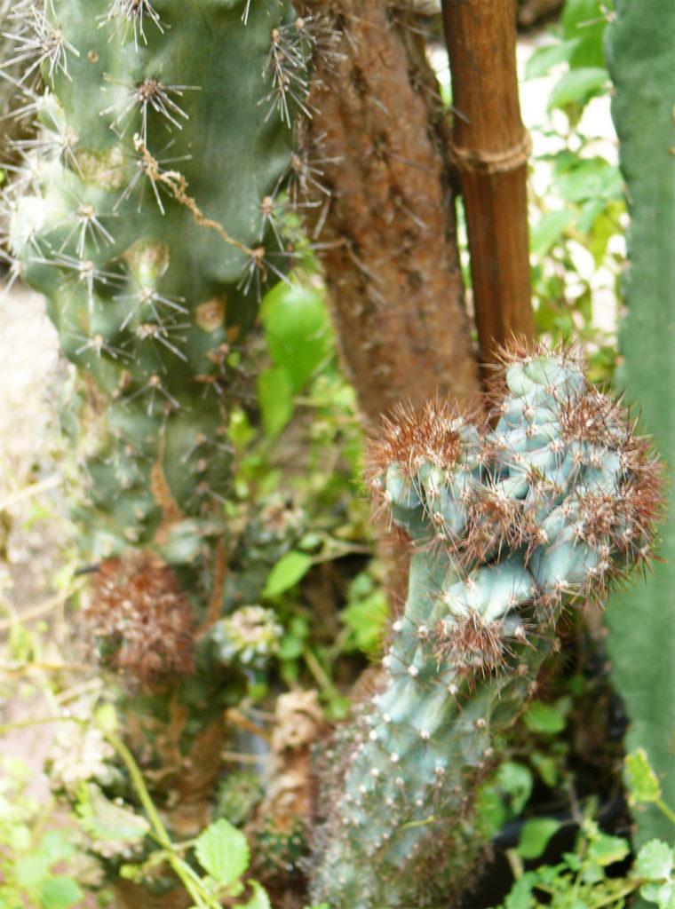 Cereus Mostruoso