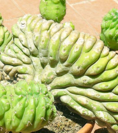 Crestature, mostruosità e variegature nelle piante