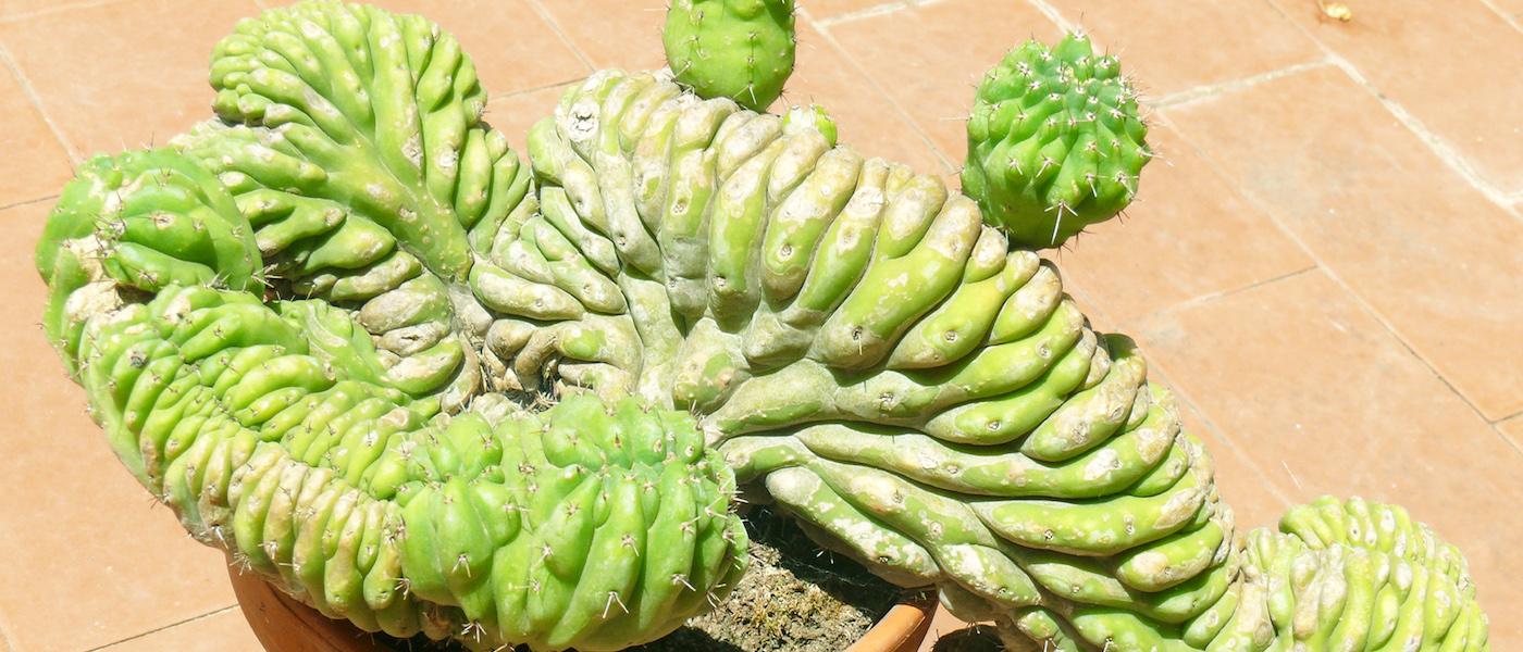 crestature piante grasse
