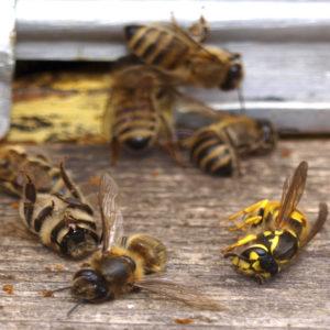 Divieto di tre pesticidi: grande trionfo per le api