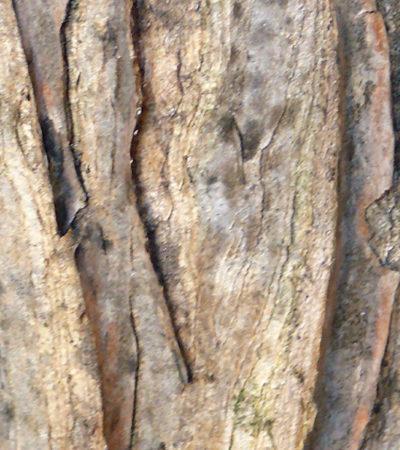 Aloidendron barberae (Aloe barberae) la più grande specie di Aloe