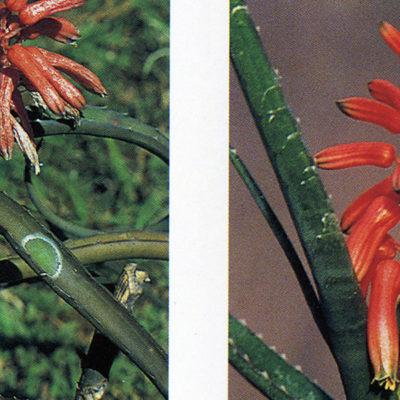 Tra le più piccole Aloe, parliamo del genere Lomatophyllum