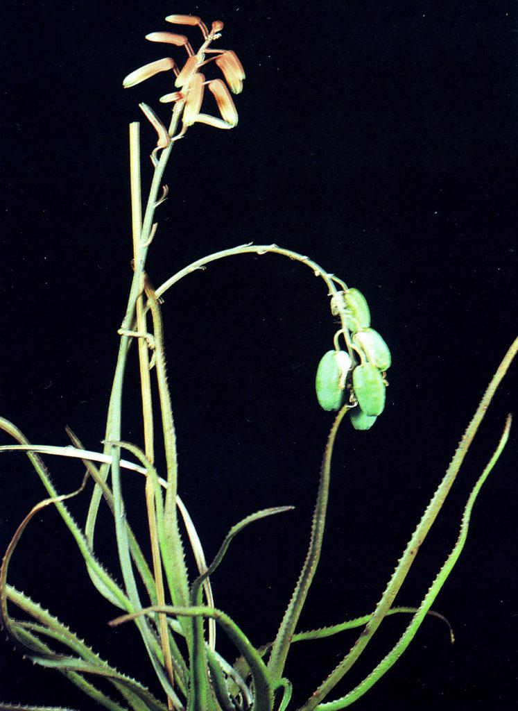lomatophyllum aloe