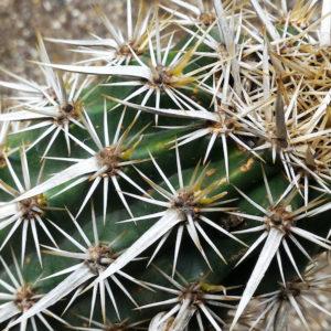 """Stenocereus eruca, la pianta """"biscia del deserto"""""""