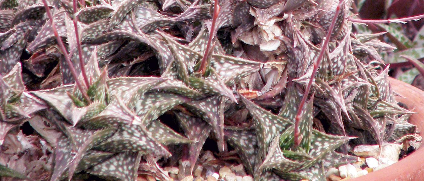 Aloedescoingsii la specie più piccola al mondo
