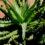 L'Aloe humilis, la specie più diffusa in Europa