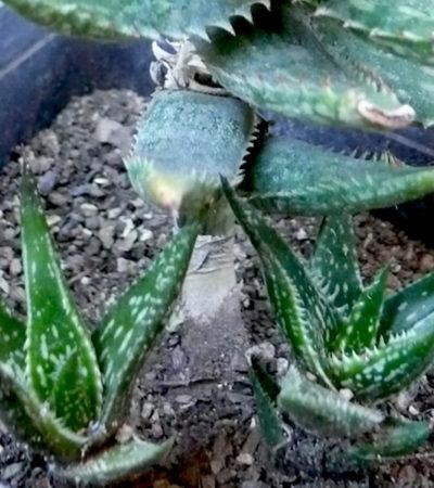 Aloe jucunda, la più piccola Aloe africana a foglia triangolare