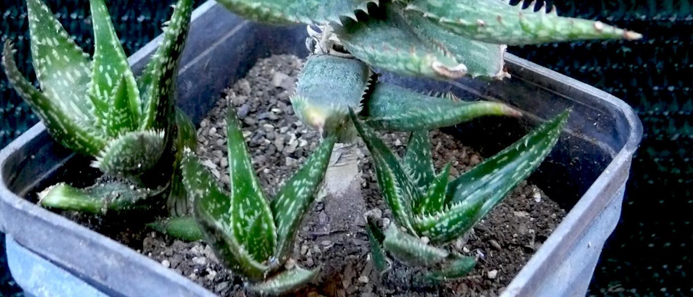 piccola Aloe jucunda