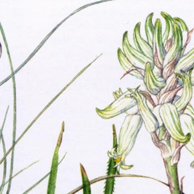 L'Aloe dai fiori bianchi: l'Aloe albida