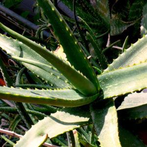 Aloe Camperi: molti la coltivano, spesso sotto falso nome