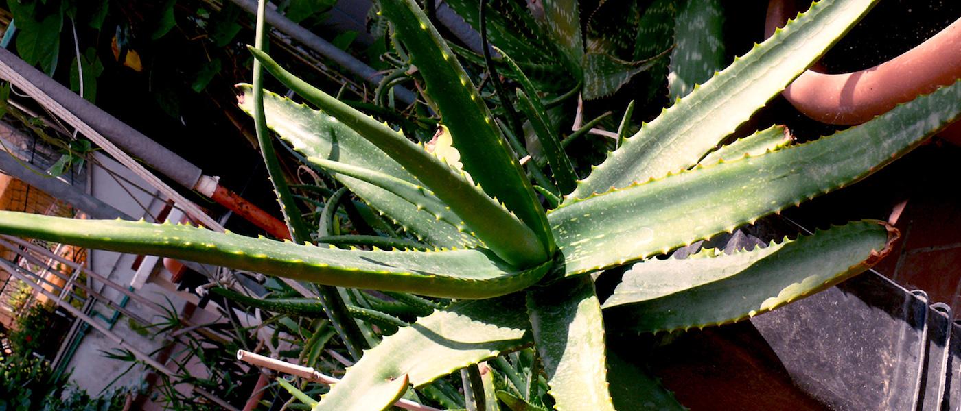 Aloe Camperi foglie