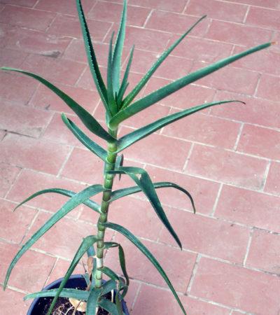 Aloe tenuior (Aloiampelos tenuior), la specie aliena