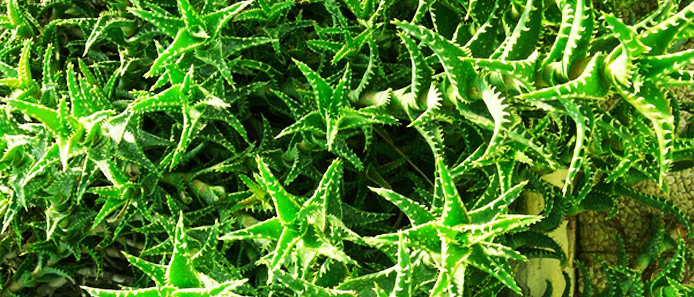 Greenious