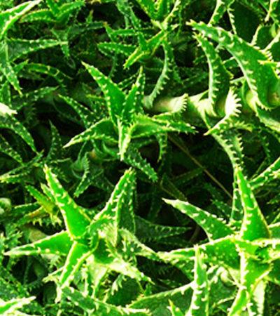 Aloe squarrosa e Aloe juvenna, una rettifica legata  al nome
