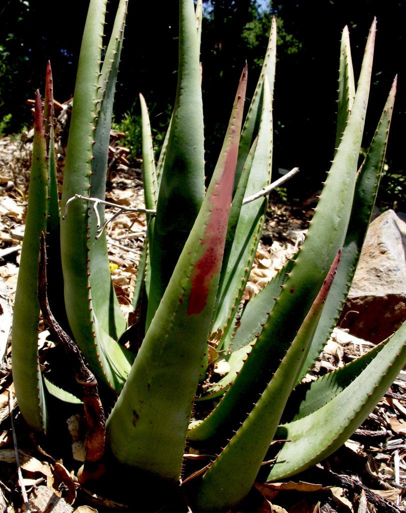 Aloe vacillans Yemen