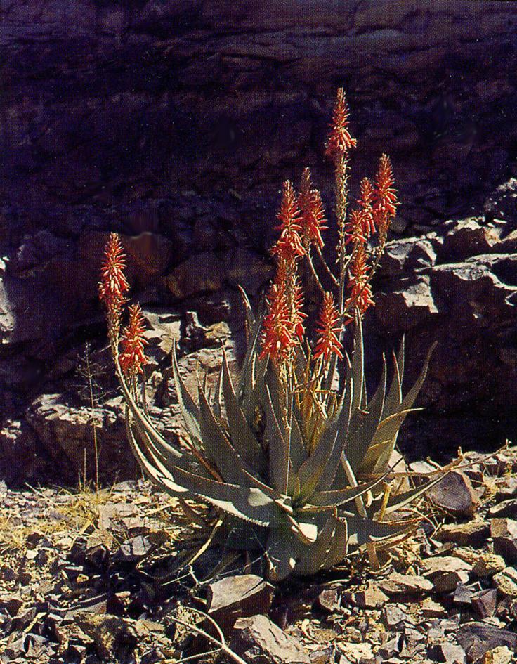Aloe vacillans lavranos