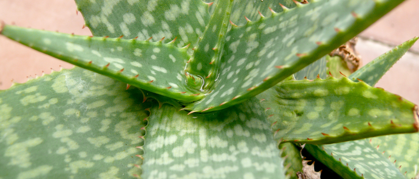 Aloe Zebrina