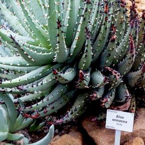Aloe erinacea: una rara aloe della Namibia
