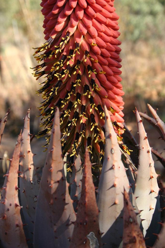 Aloe peglerae fiore