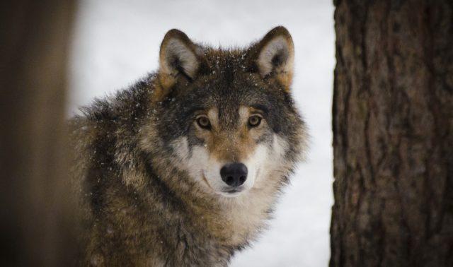 Wolfalps