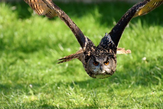 aquila uccelli selvatici