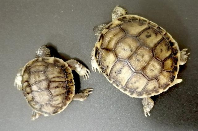 tartarughe gemelle